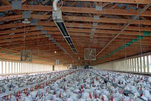 spaceray-pca-tube-brooder-turkey-farm